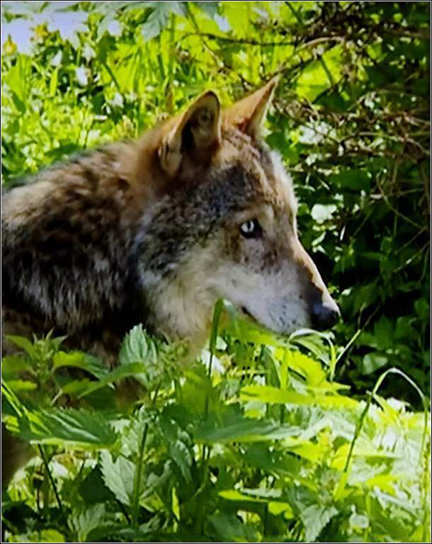 Animaux sauvages - loup