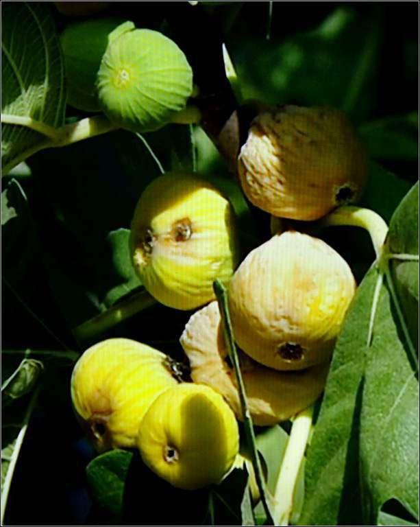 Les fruits - figues