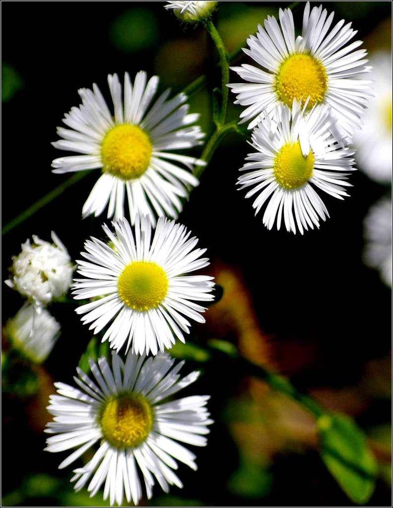 Les fleurs - camomille sauvage