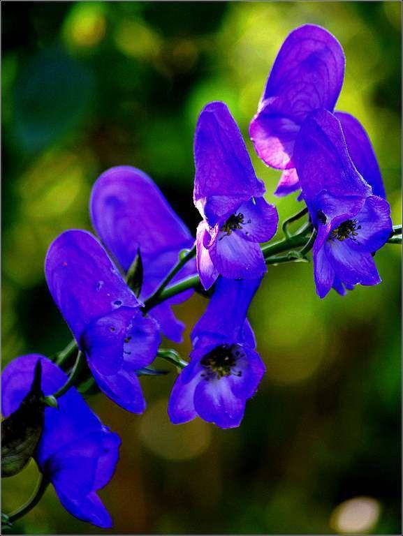 Les fleurs - Aconitum