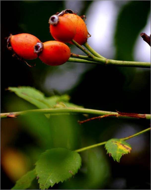 Baies d'automne - cynorhodons - églantine