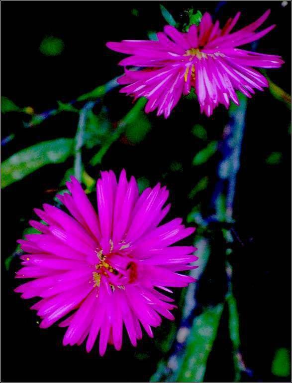 Les fleurs - aster