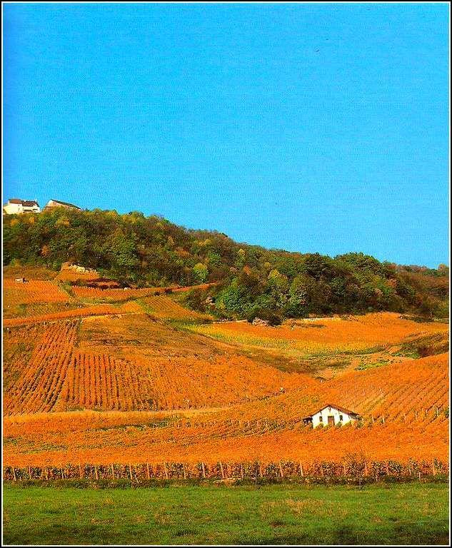 Chateau Chalon - Jura - les vignes