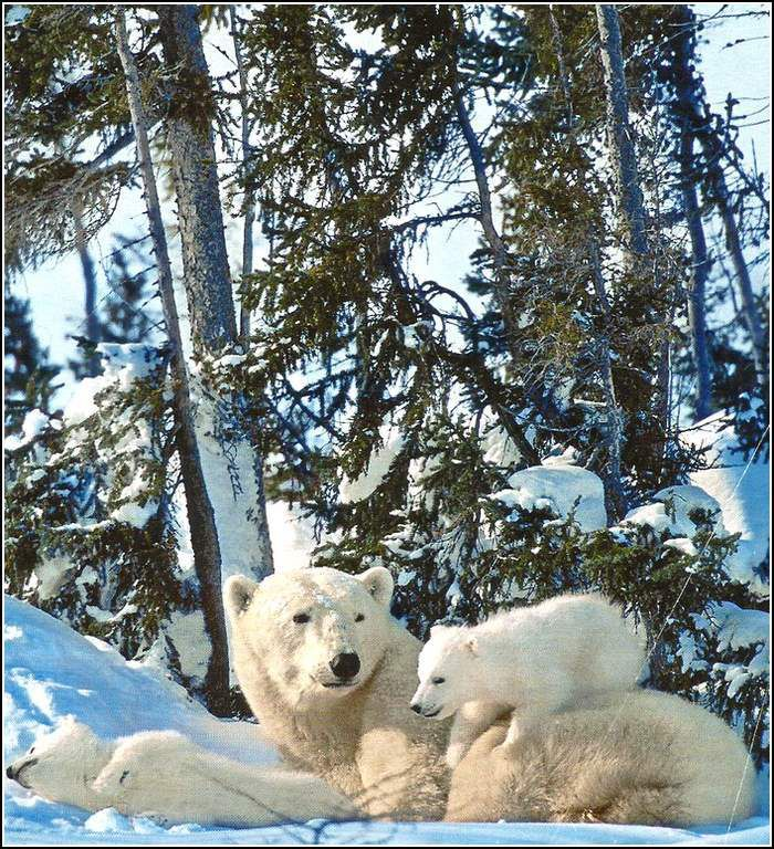 Animaux sauvages - ours blanc