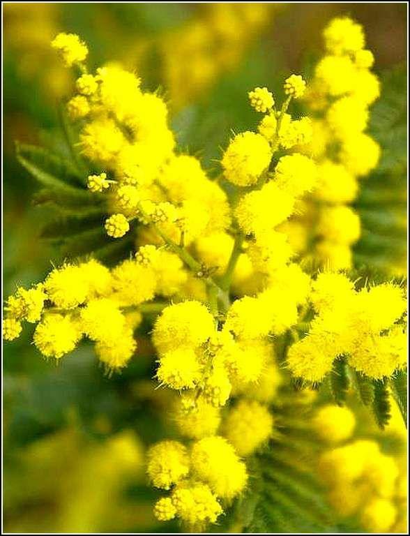Les fleurs - mimosa