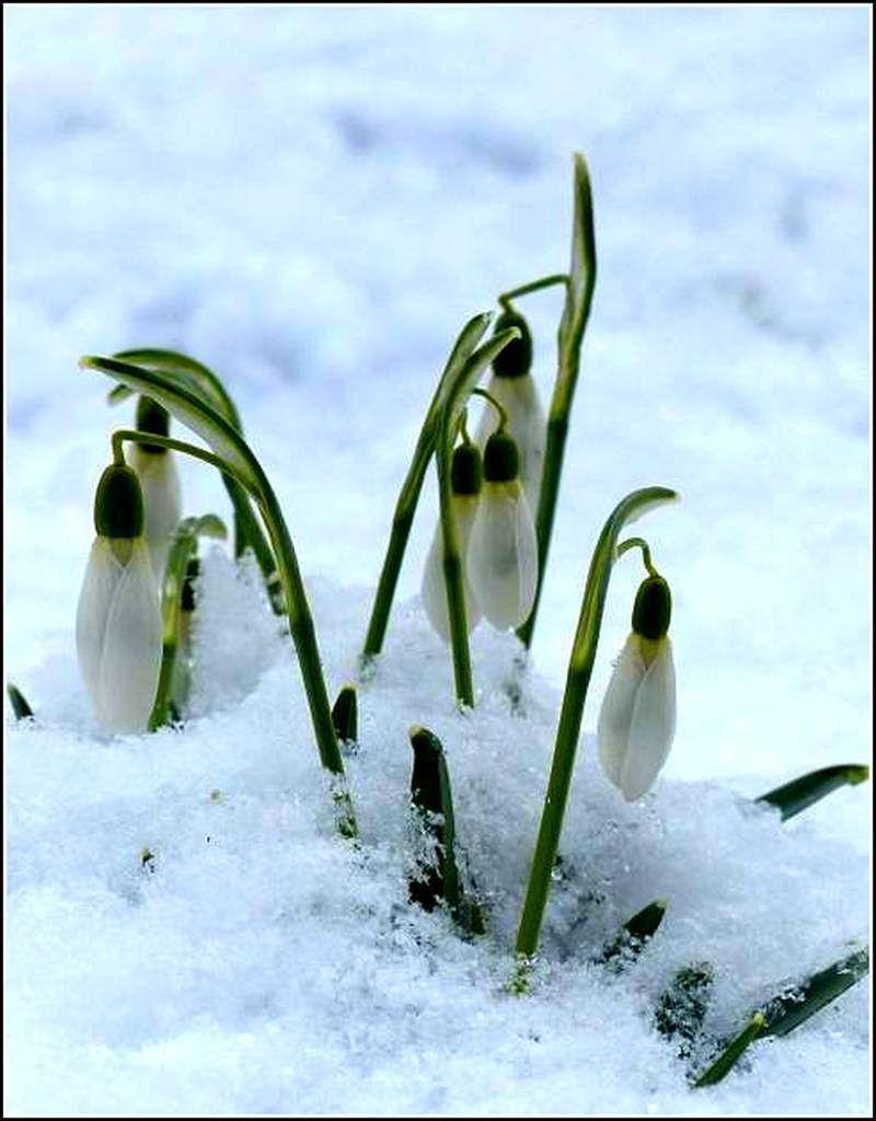 Les fleurs - perce neige