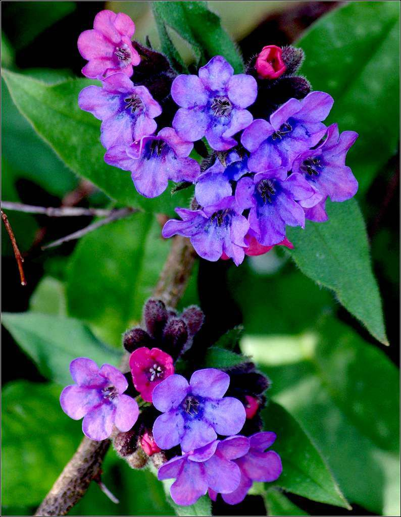 Coloriage Fleur Coucou.Fleurs Coucou Bleu