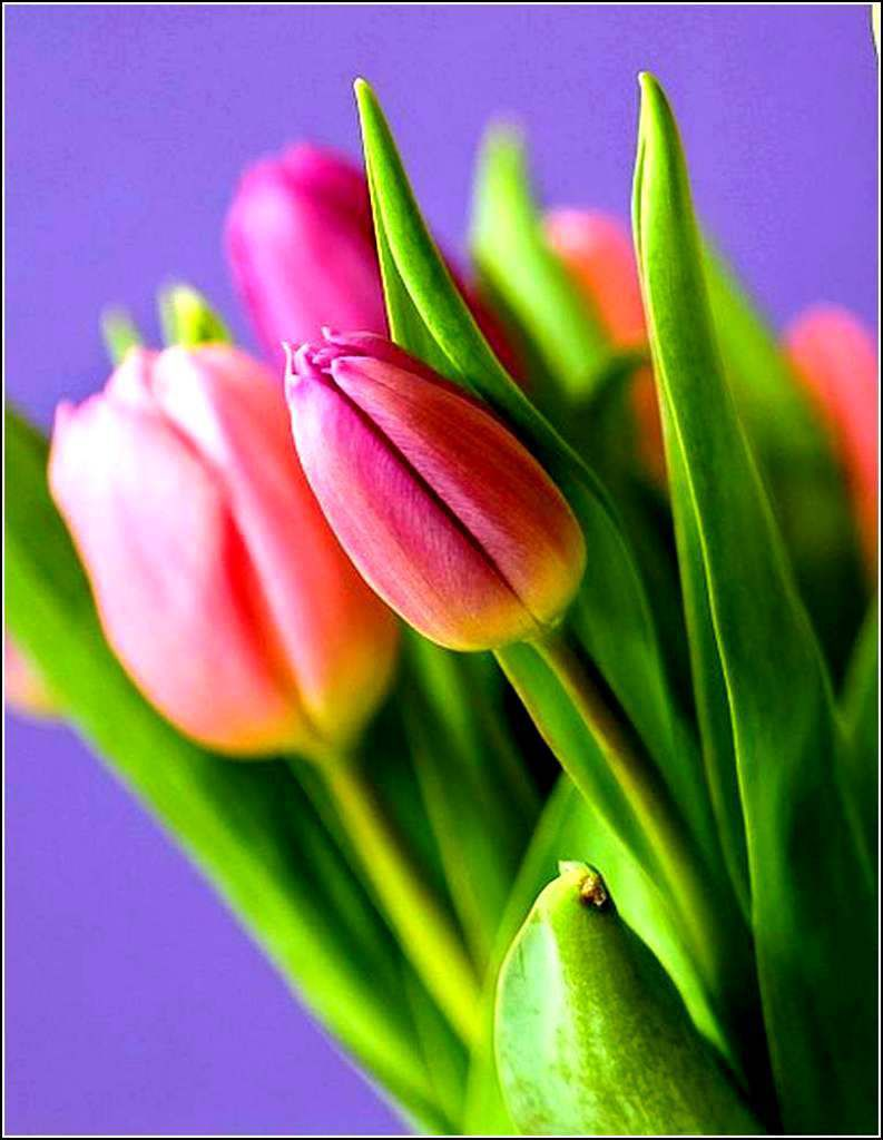 Les fleurs - tulipes