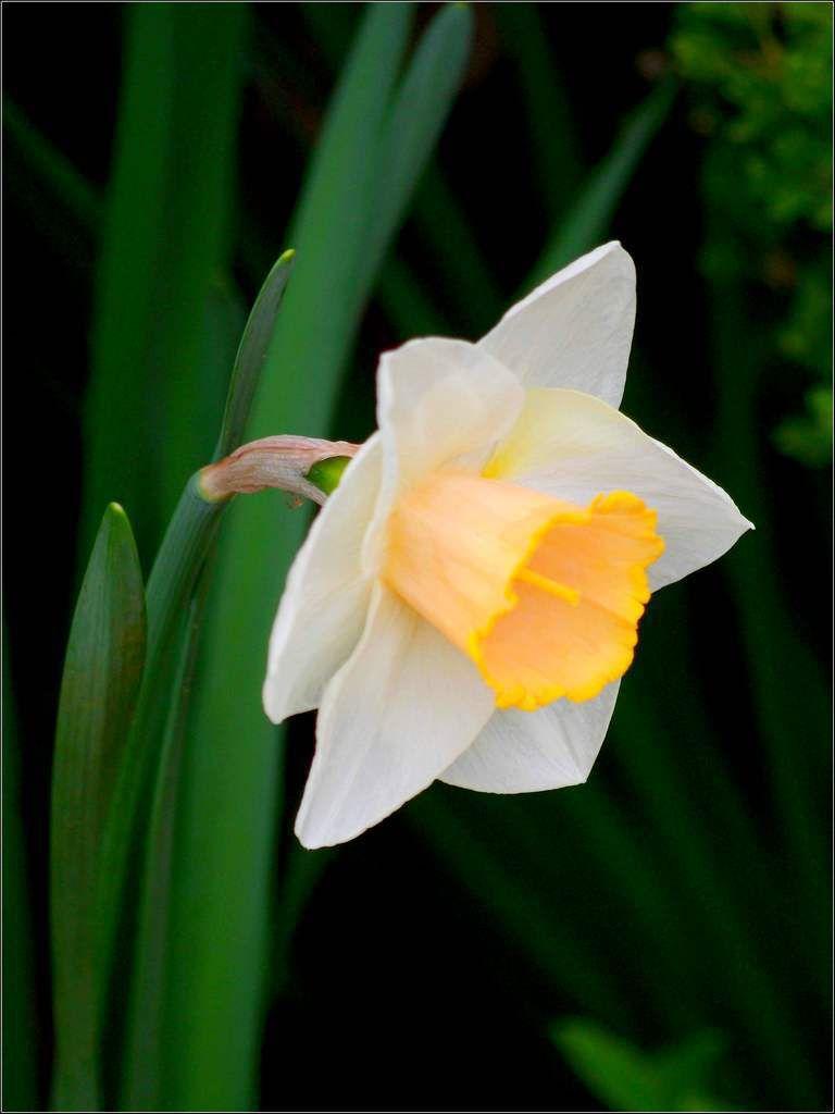 Les fleurs - jonquille