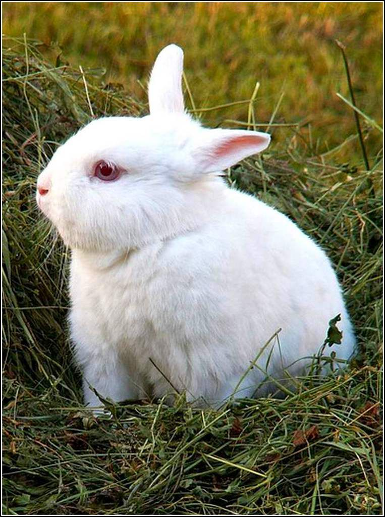 Animaux campagne - lapin