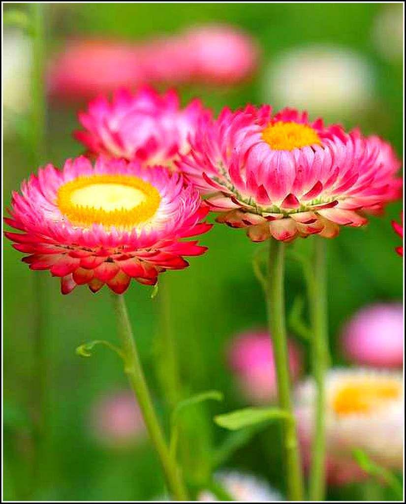 Les fleurs - pâquerettes
