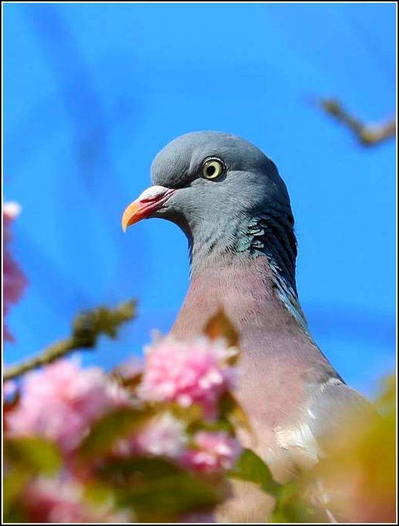 Les oiseaux - pigeon