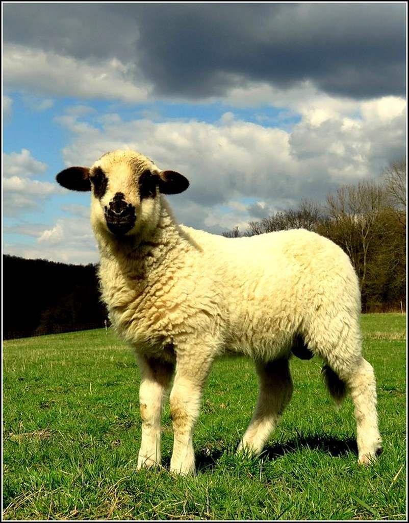 Animaux campagne - agneau