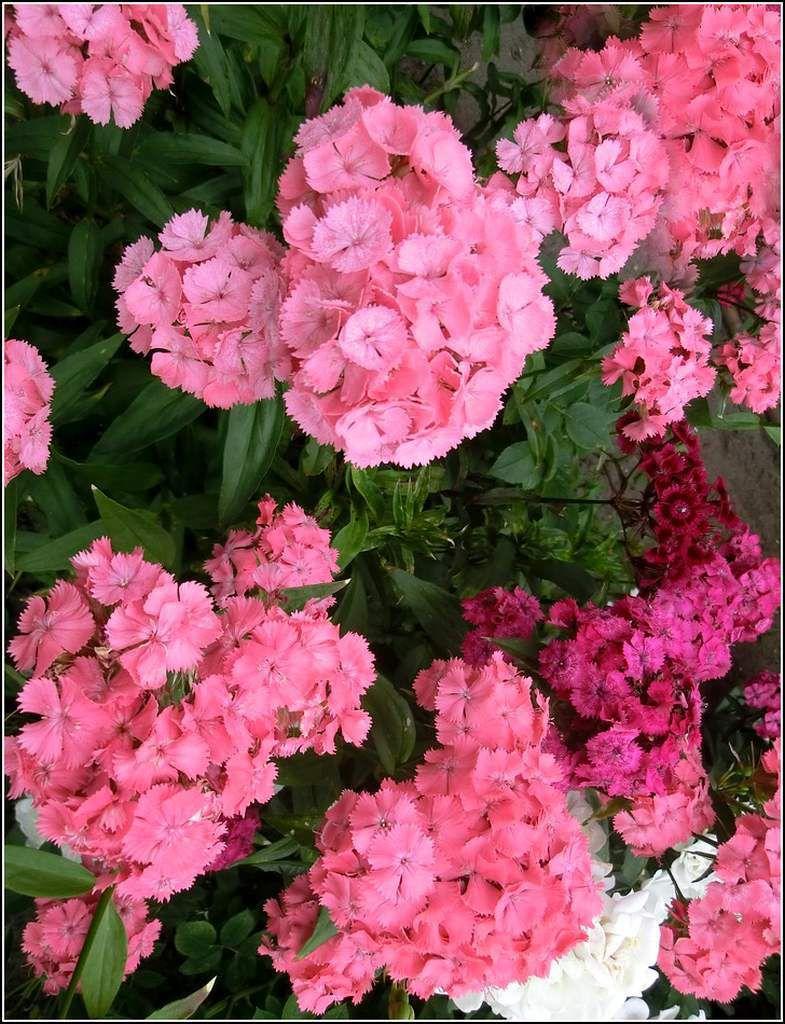 Les fleurs - oeillets