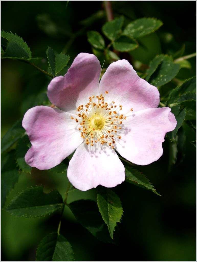 Les fleurs - églantine