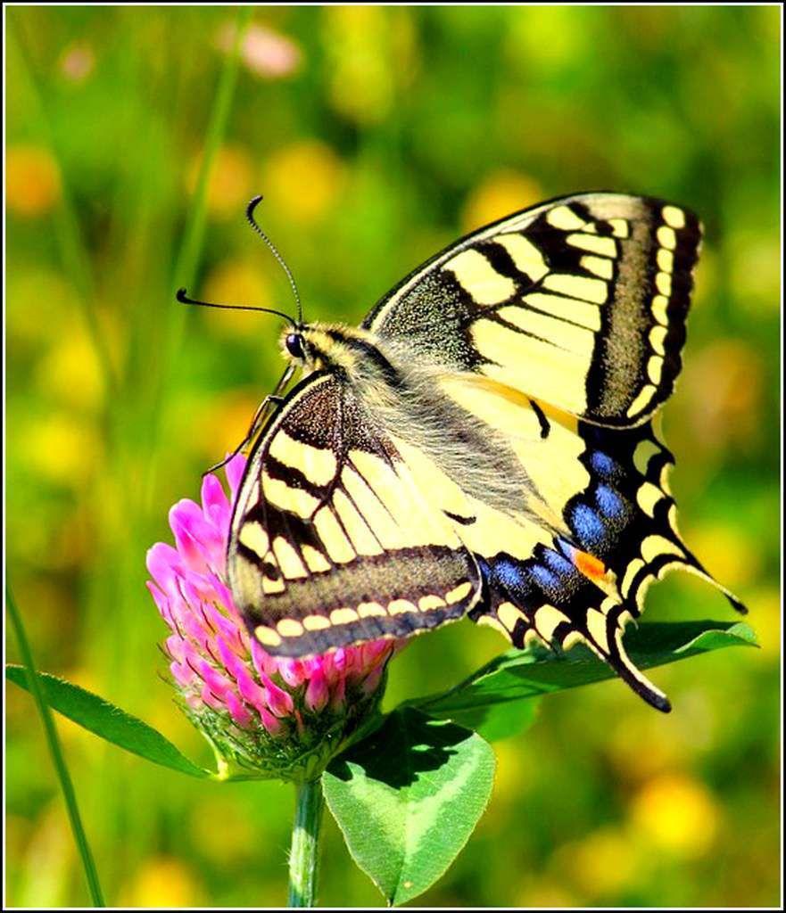Les papillons - machaon