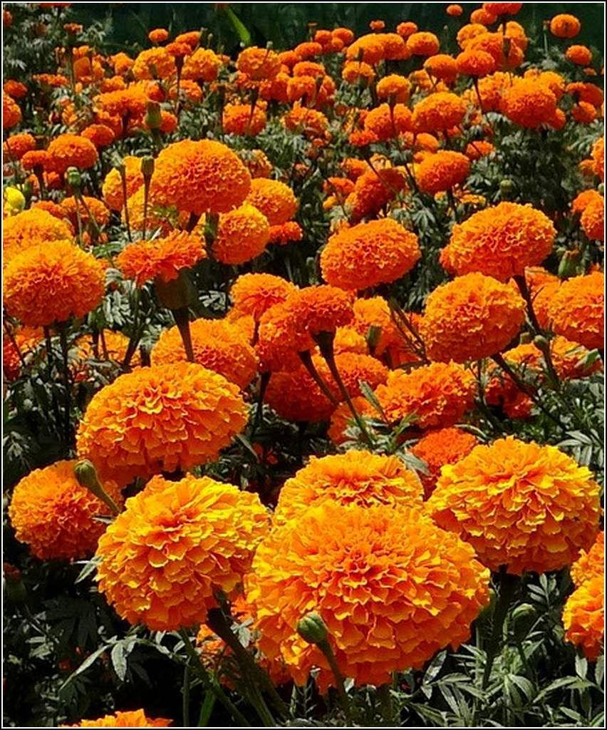 Les fleurs - oeillets d'Inde