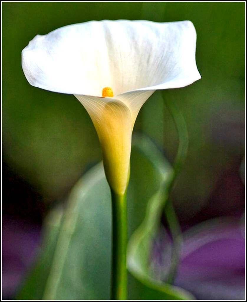 Les fleurs - arum