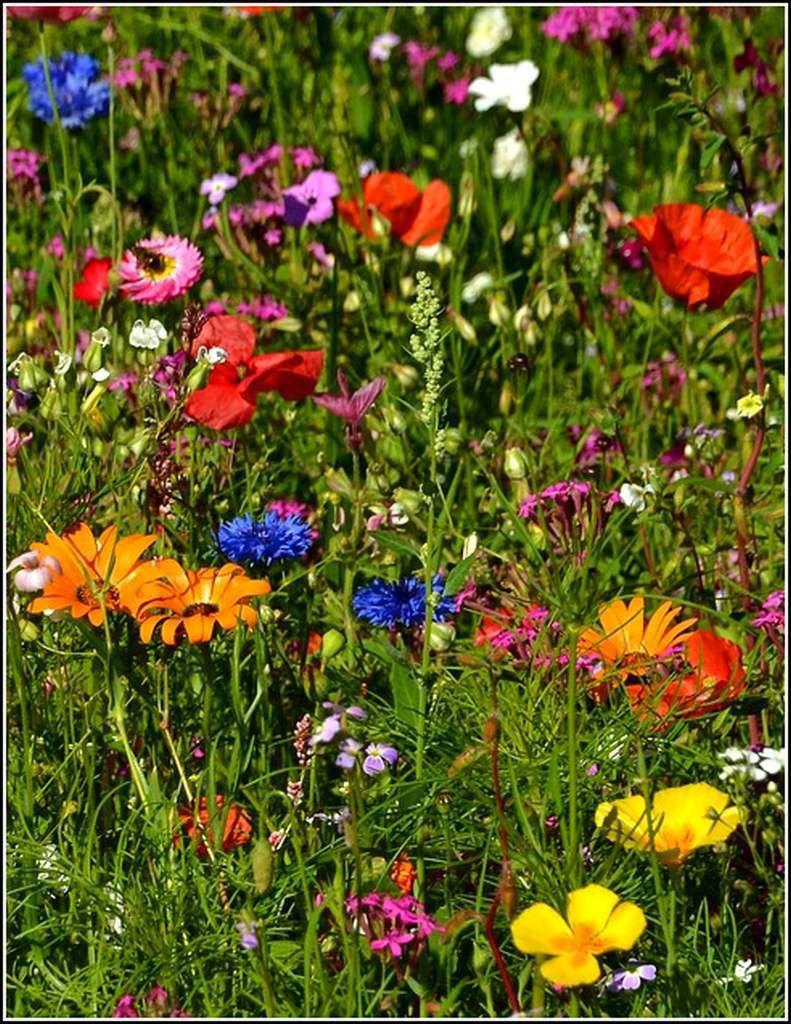 Les fleurs - fleurs de prairie
