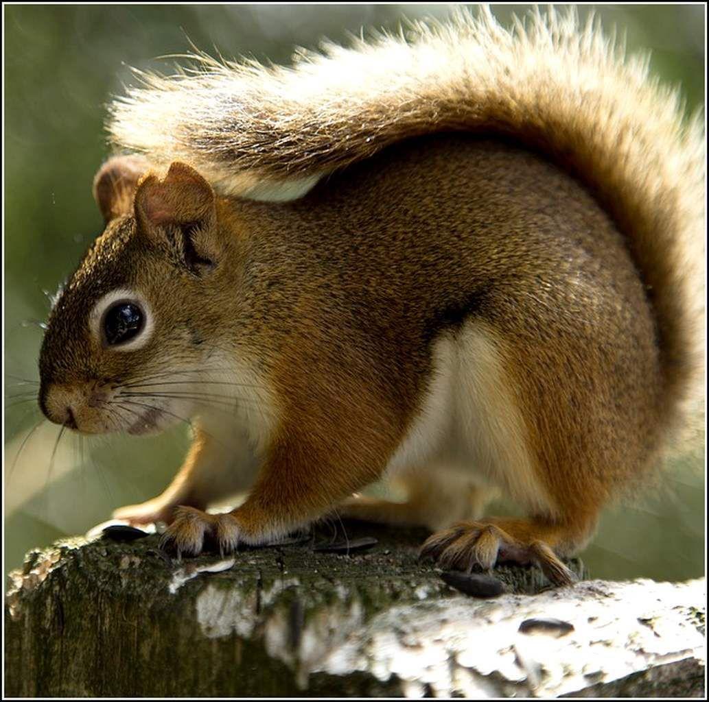 Animaux sauvages - écureuil