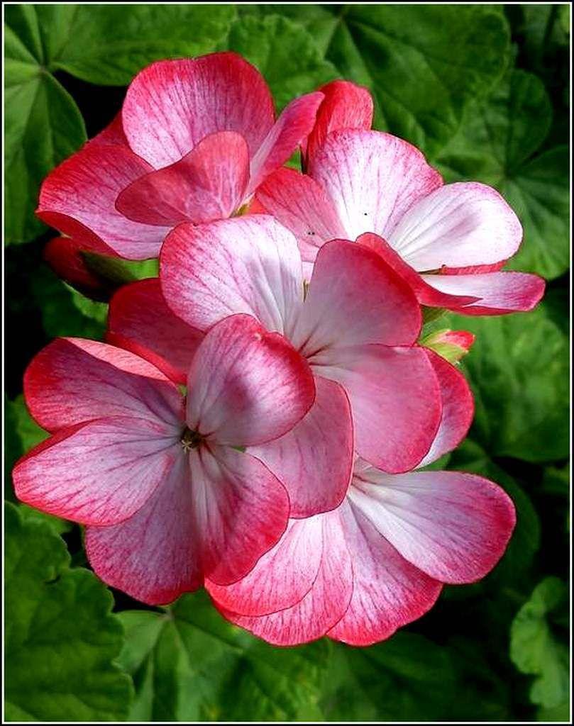 Le géranium dans le langage des fleurs