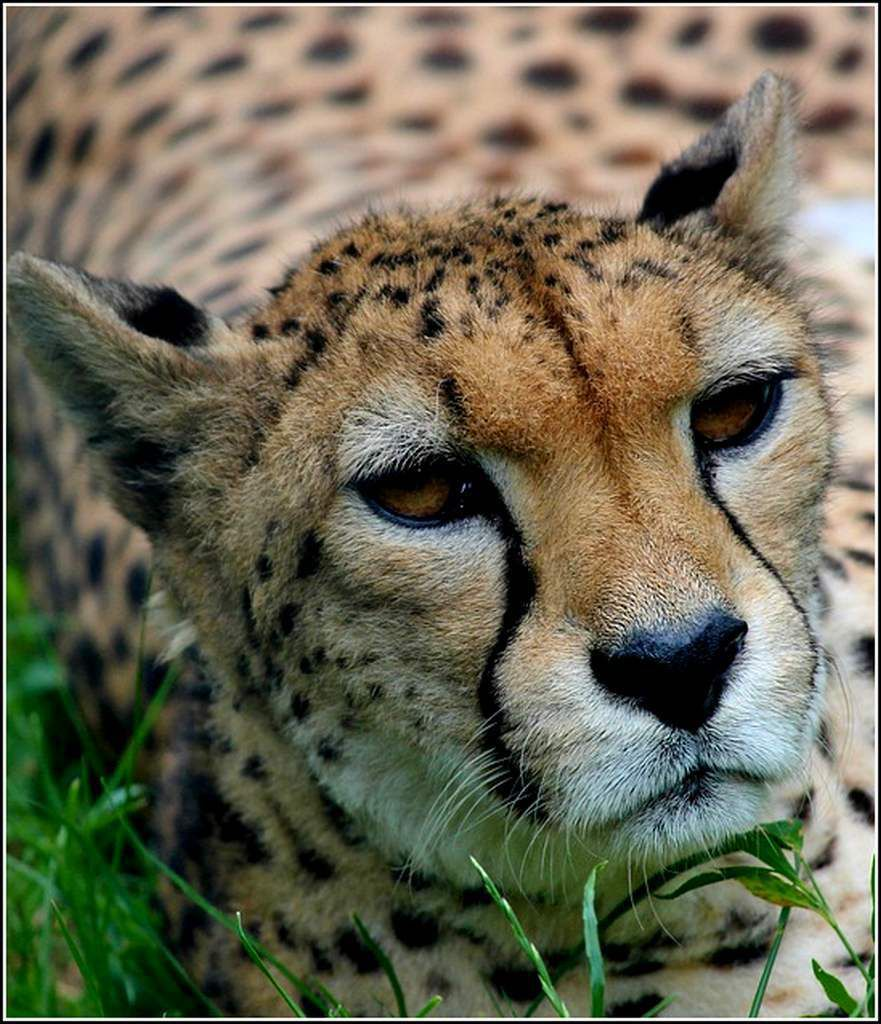 Animaux sauvages - guépard