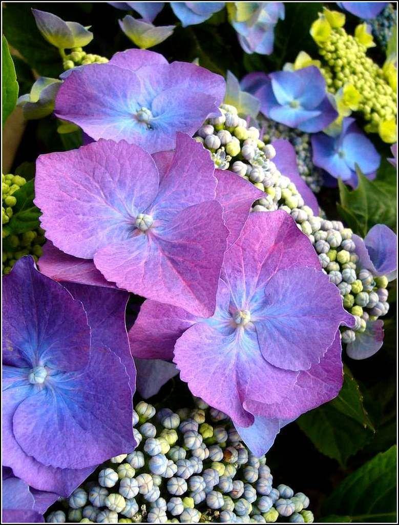 Les fleurs - hydrangea