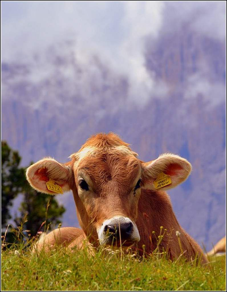 Animaux campagne - vache