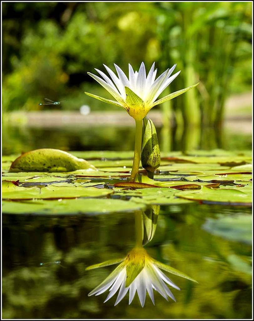 Les fleurs - nénuphar
