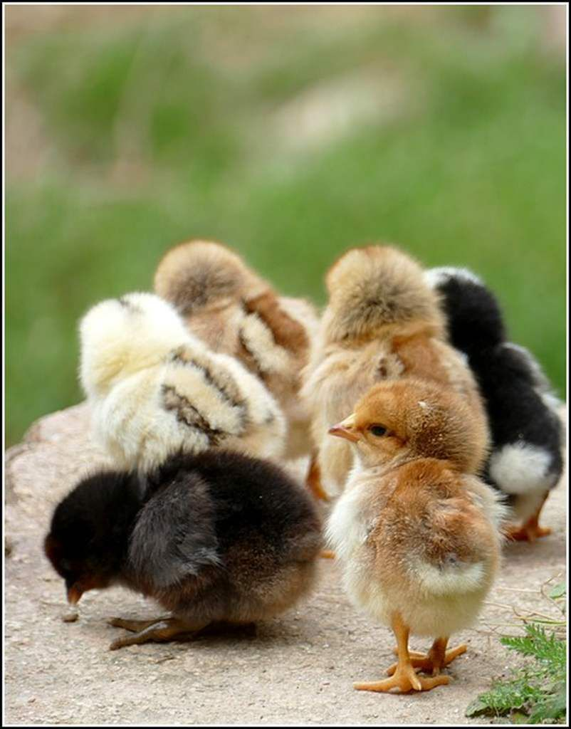 Animaux campagne - poussins