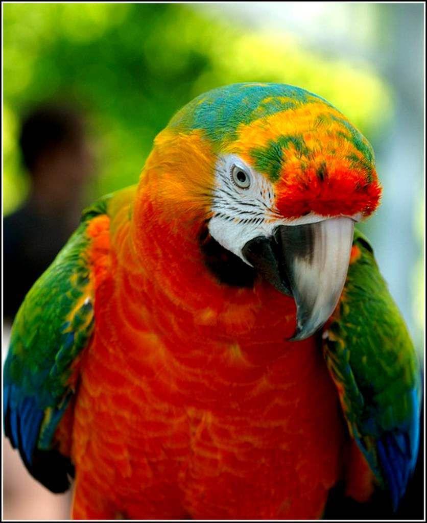 Les oiseaux - ara