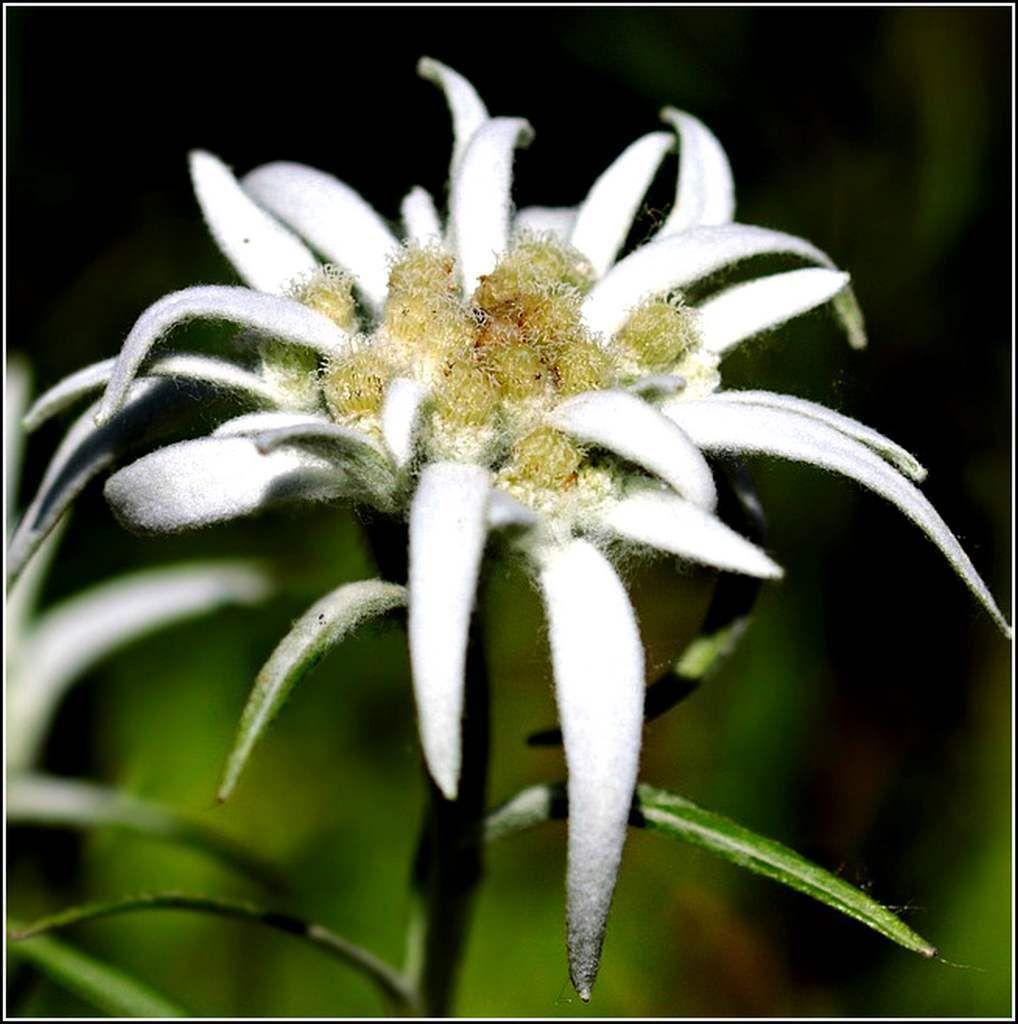 Les fleurs - édelweiss
