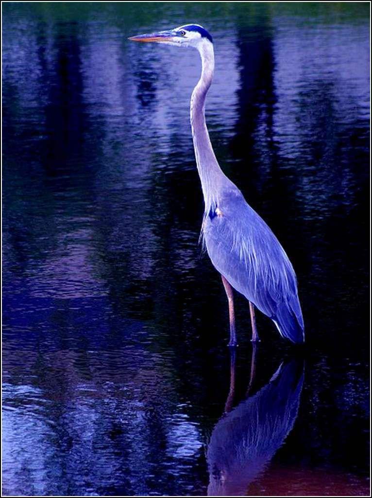 Les oiseaux - héron bleu