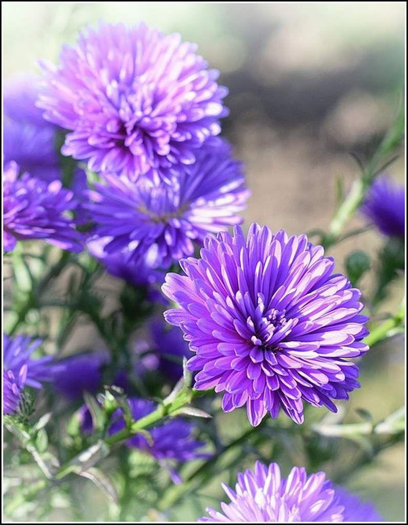 Les fleurs - asters