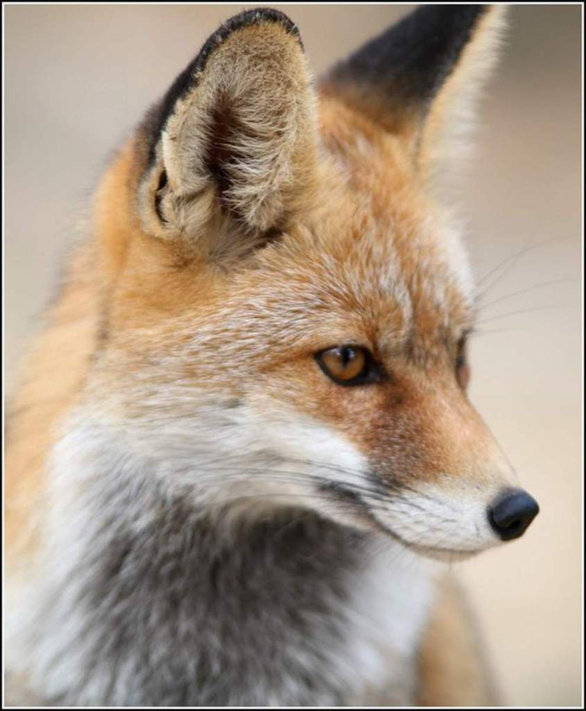 Animaux sauvages - renard