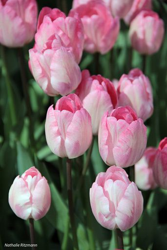 Istanbul s'habille de 1001 tulipes