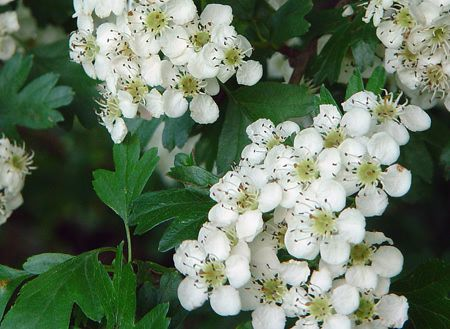 Fleurs D Avril Le Blog D Eglantine Lilas Nalge