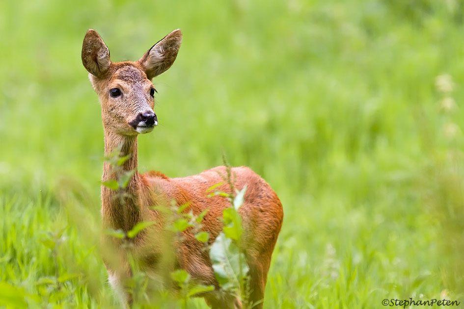 Notre petit Cervidé indigène est une espèce bien représentée en Belgique mais généralement très discrète.