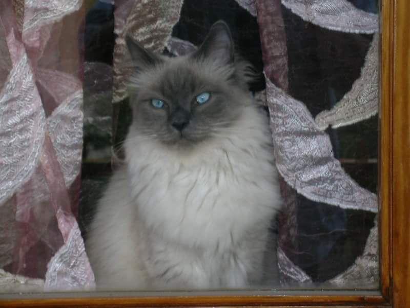 PRINCIPE RAMSES di Profumo di gatto Birman Cat male