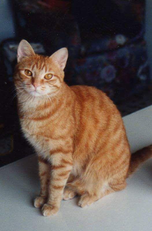 ZEUS DELL'OLIMPO GRECO CAPOSTIPITE DEL PICCOLO BRANCO European Cat / male