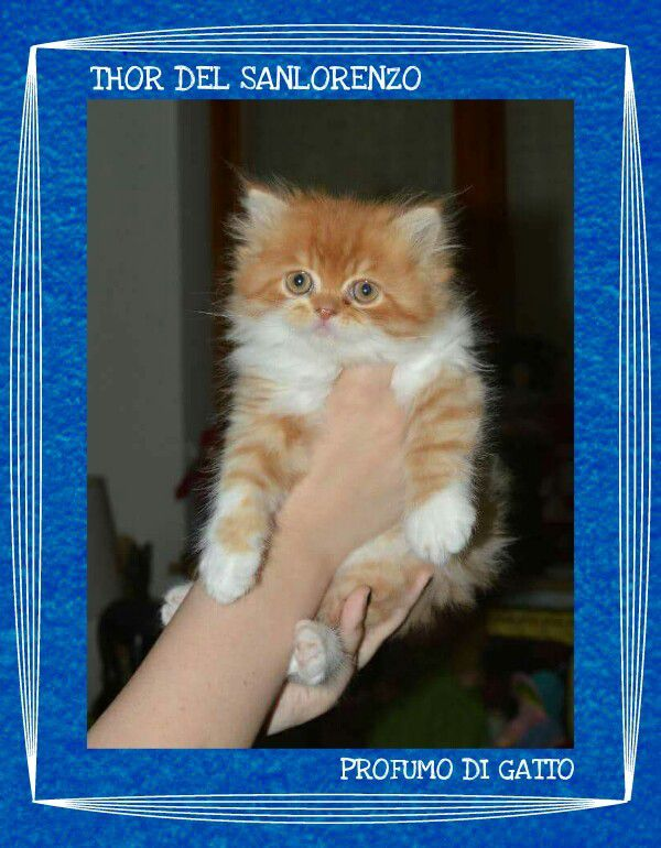 THOR DEL SANLORENZO Persian Cat bicolor red & white tabby/male