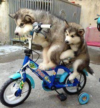 Animaux en vélo.
