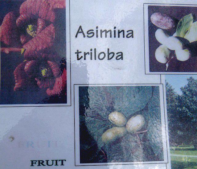 Trouvailles et découvertes (1) : l'asiminier trilobé.