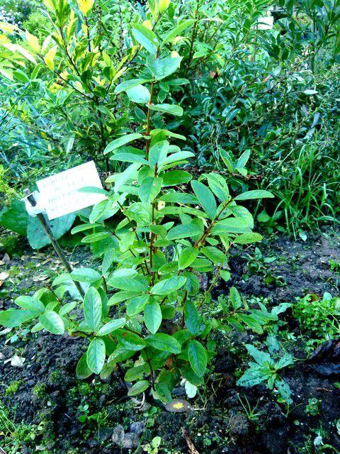 Trouvailles et découvertes (5) : des chèvrefeuilles fruitiers.