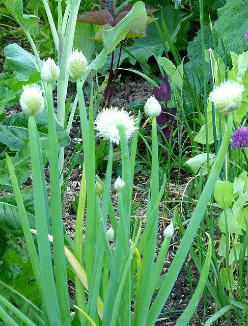 Ciboule commune : Allium fistulosum