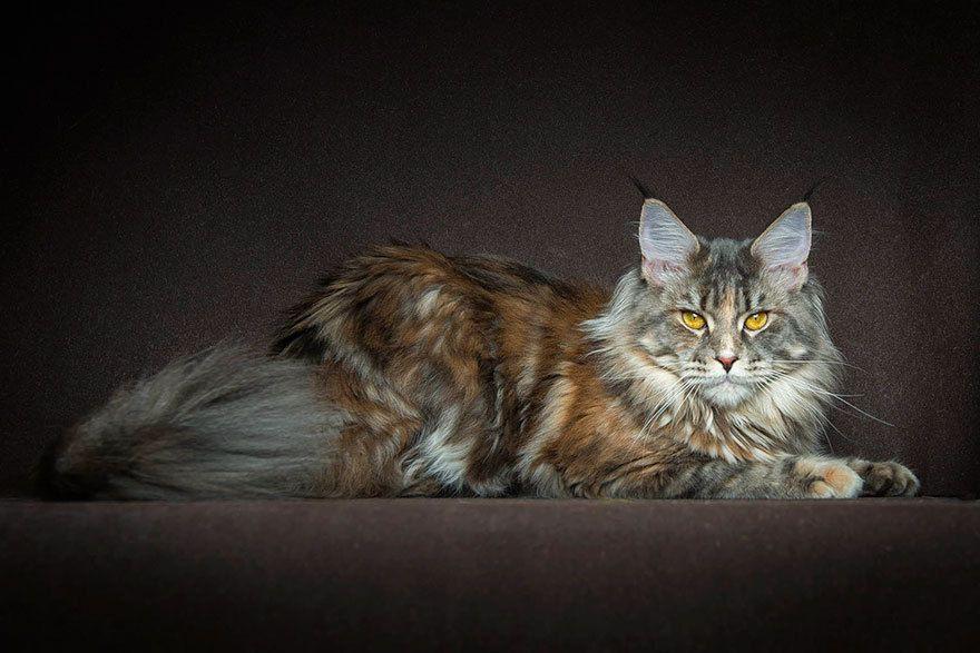 Belles photos de chats Maine Coon