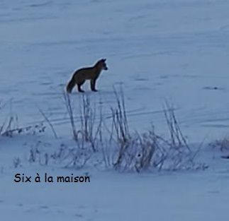 renard dans la neige