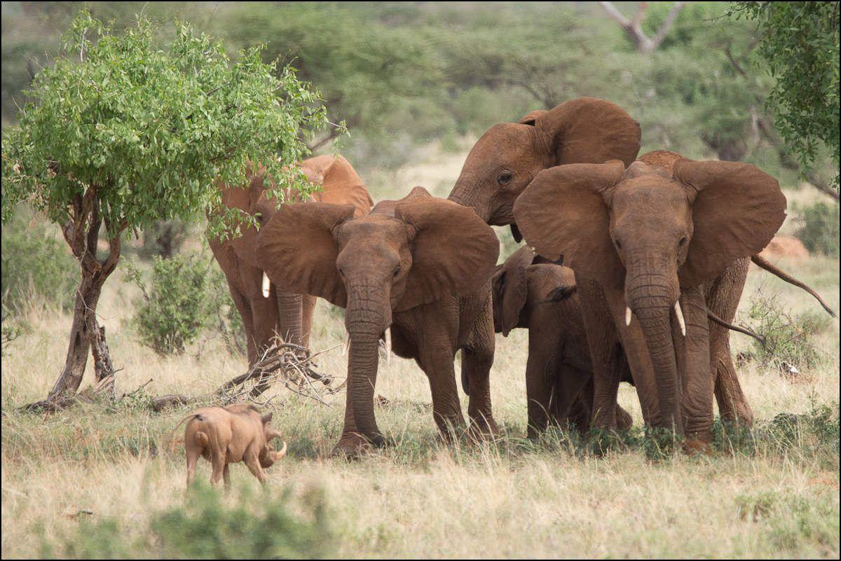 L'éléphant, poids lourd de la savane.