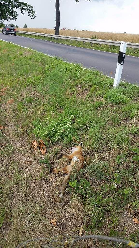 Den oder die Fuchs/Füchsin hatte ich in letzter Zeit jeden Morgen an der Straße laufen sehn. Spezialisiert auf totgefahrene Tiere...brauchte diese nur aufsammeln! Und nun?