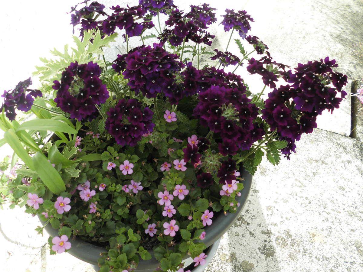 juin 2014. Geranium odorant, verveine annuelle, bocopa parme.